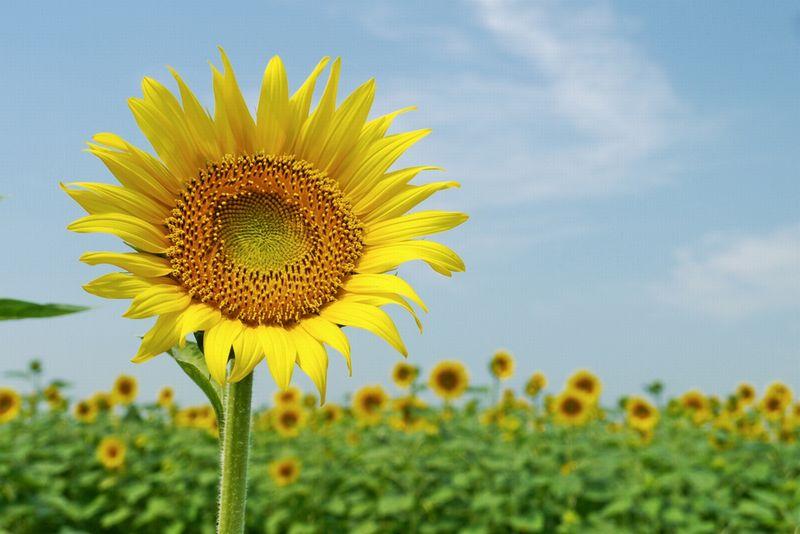 夏の風物ひまわり畑